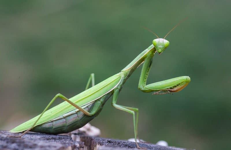 Mantis de Oración: Siete Hechos Extraños y Cómo Deshacerse de ellos en la Casa