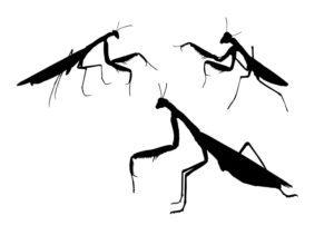 Tres mantis de oración sombras en fondo blanco