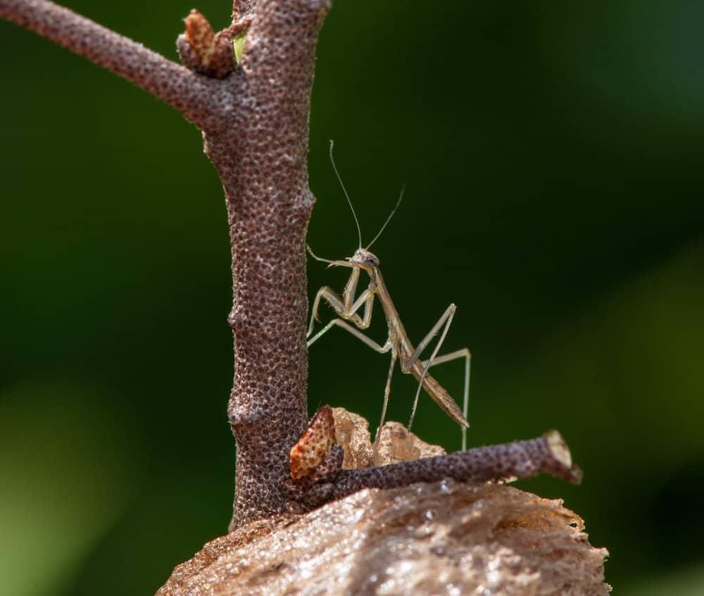 mantis de oración marrón singel en la naturaleza