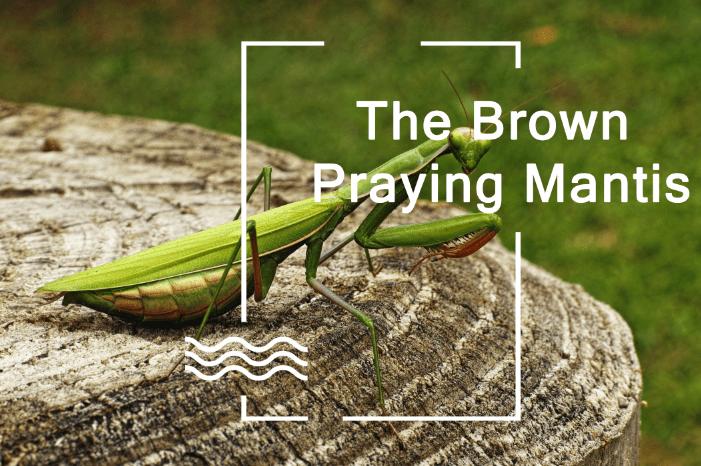 Los Mantis de Oración Marrones: Ciclo de Vida, Hábitat, Comportamiento y Beneficios