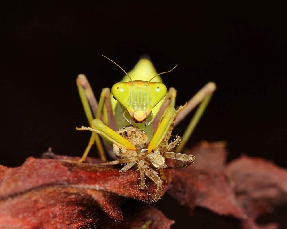 Mantis de oración gigantes en la naturaleza