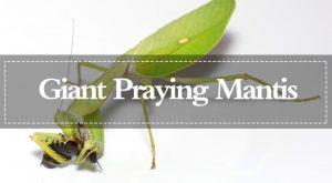 Mantis de Oración Gigantes: Apariencia, Comportamiento y Su Hábitat Natural