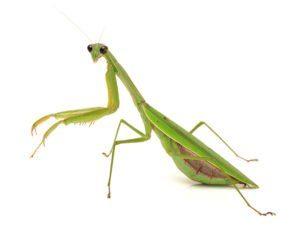Grande rezando mantis en blanco