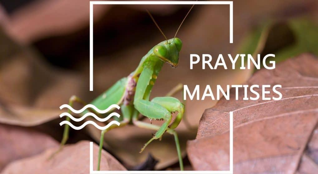 Mantises de Oración – Uso de Mantidos de Oración para el Control de Plagas