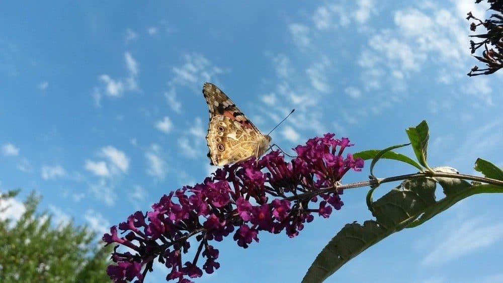 Vida Útil de Diferentes Tipos de Mariposas