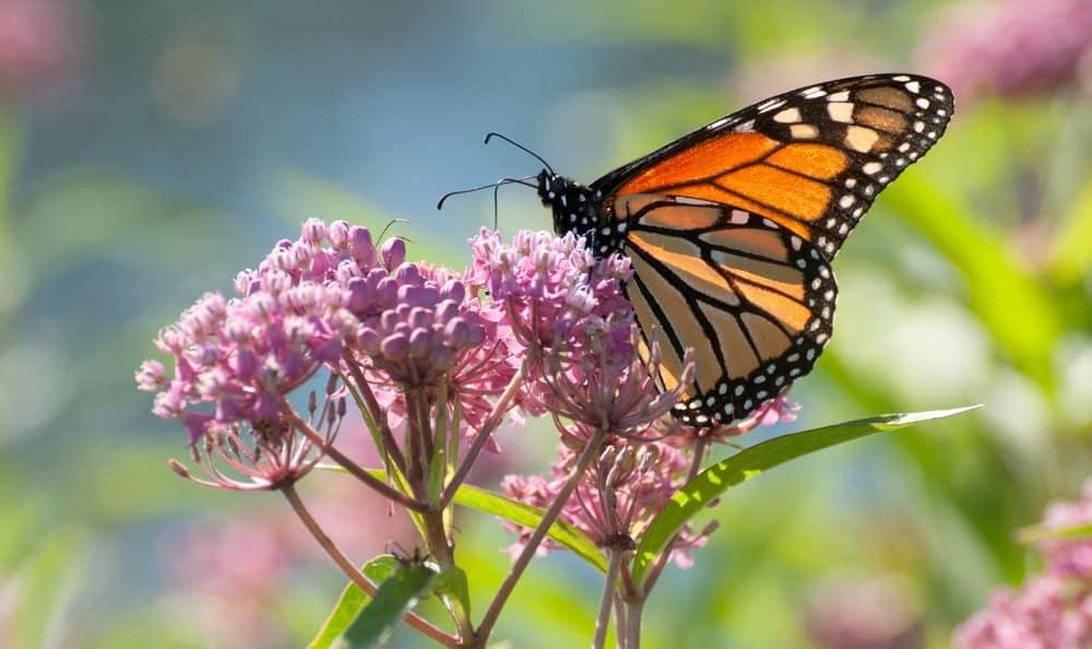 mariposas sobre flores