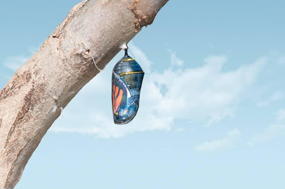 pupa de mariposa en el árbol
