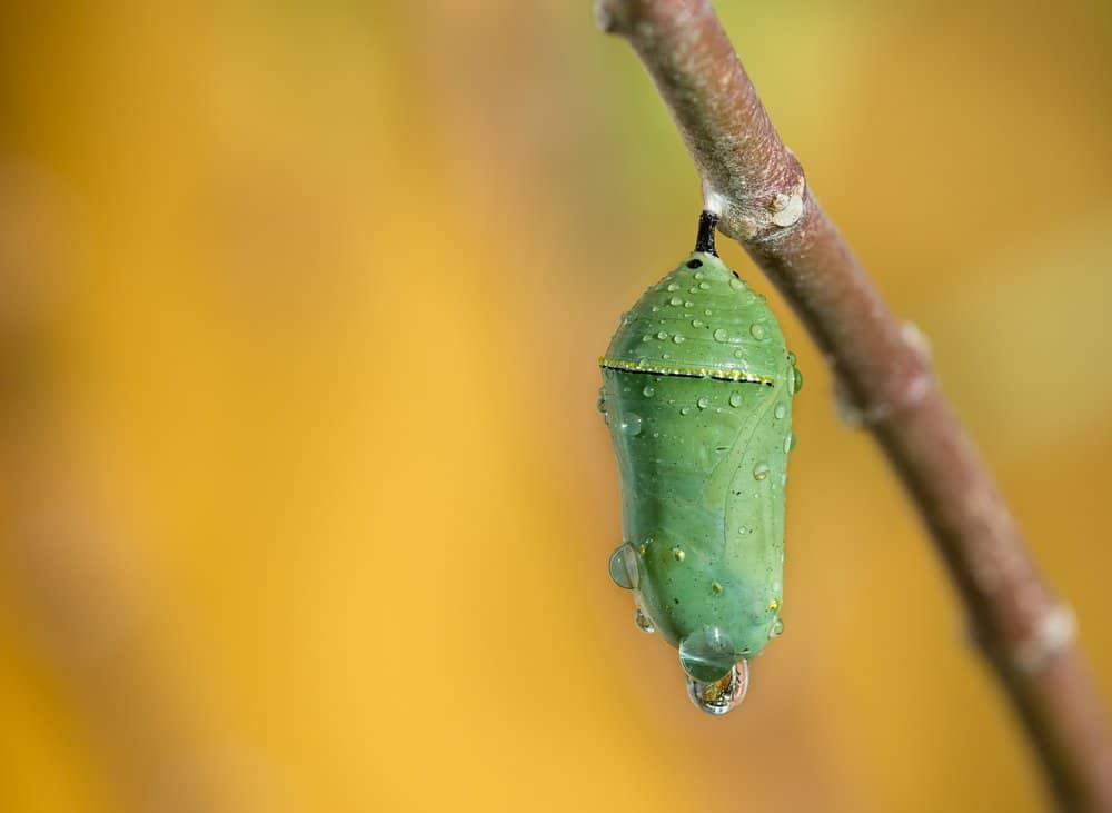 Monarca Mariposa en la naturaleza