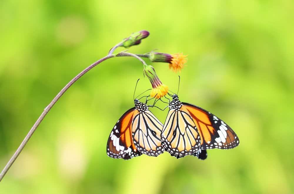 Sorpréndete con Hechos Increíbles Sobre la Mariposa Monarca