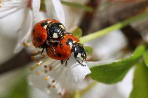 El amor de dos mariquitas en una rama de primavera floreciente