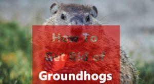 Deshacerse de las marmotas