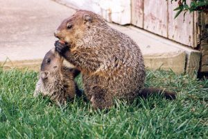 Marmotas jóvenes y adultas