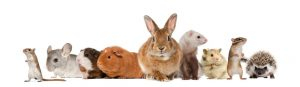 5 Roedores Mascotas para Elegir