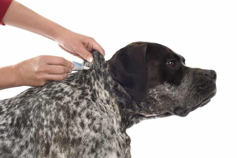 Cómo Tratar las Pulgas en los Perros (Naturalmente) Utilizando Métodos Convencionales