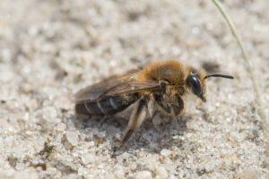 Una minería de abejas en el suelo.