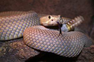 Mohave serpiente de cascabel traquetea y chasquea la lengua en Arizona
