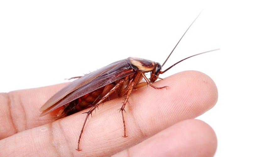 La Respuesta a una Pregunta Misteriosa… ¿Pueden Morder las Cucarachas?