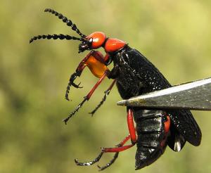 Todo lo que Necesitas Saber sobre las Picaduras de Escarabajos de Ampolla