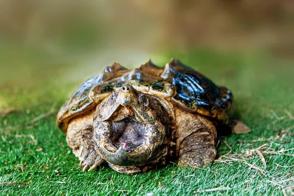Mordeduras de Tortuga: 5 Pasos a Tomar Cuando las Tortugas Atacan