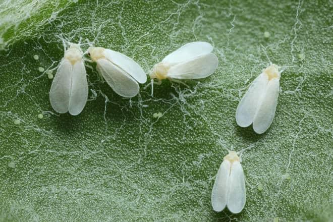 10 Maneras Naturales de Deshacerse de las Moscas Blancas