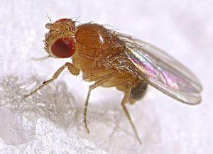 Moscas Frutales Contra Mosquitos: 4 Maneras de Matar Mosquitos & 3 Maneras de Matar Moscas de Fruta