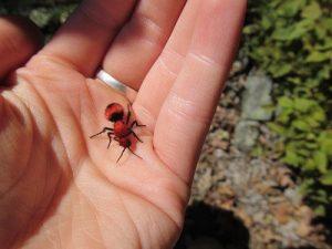 Hormiga de terciopelo rojo en la piel humana