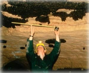 La técnica de inspección de murciélagos de Indiana en la Cueva de Ray: murciélagos de Indiana (y otras especies) cuelgan en racimos de techos de cuevas durante la hibernación. Este investigador está estimando el número de murciélagos hibernando.