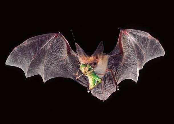 El Murciélago Indiana: 6 Consejos de Identificación Más Datos Divertidos, 4 Formas para la Limpieza y Restauración del Ático