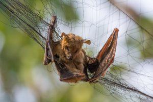 Cómo Atrapar un Murciélelo en Tu Hogar o en el Ático