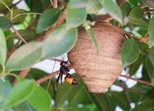 Nidos de Abeja en ramas de árbol