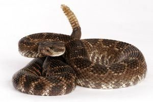 Serpiente de cascabel del Pacífico sur con un fondo blanco