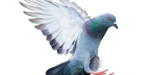 Paloma: 16 Hechos Agradables y 5 Soluciones para Deshacerse de ellos