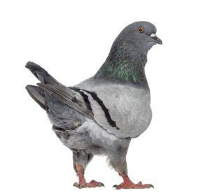 Una gran paloma rey en el fondo blanco
