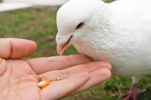 Un hombre está alimentando a una paloma blanca