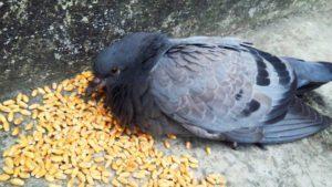 Una paloma está comiendo granos de trigo