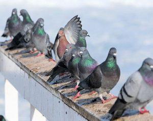 Grupo de palomas en el techo