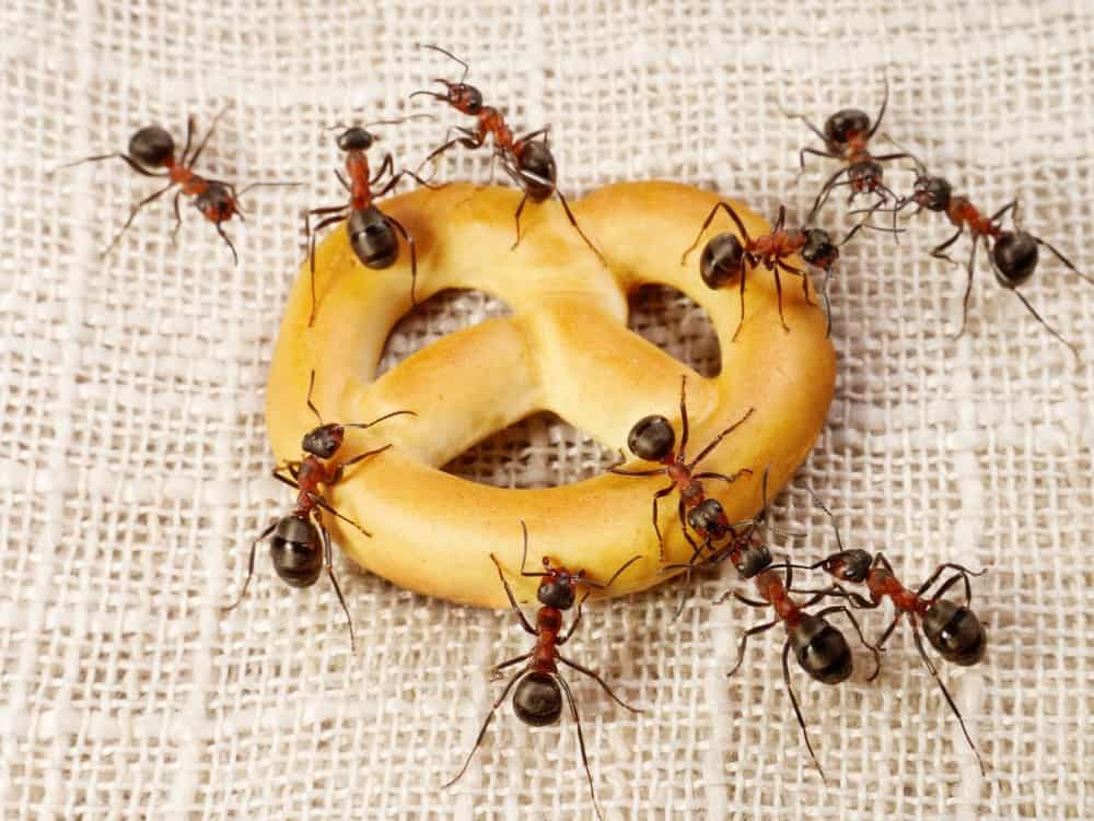 Hormigas en la cocina