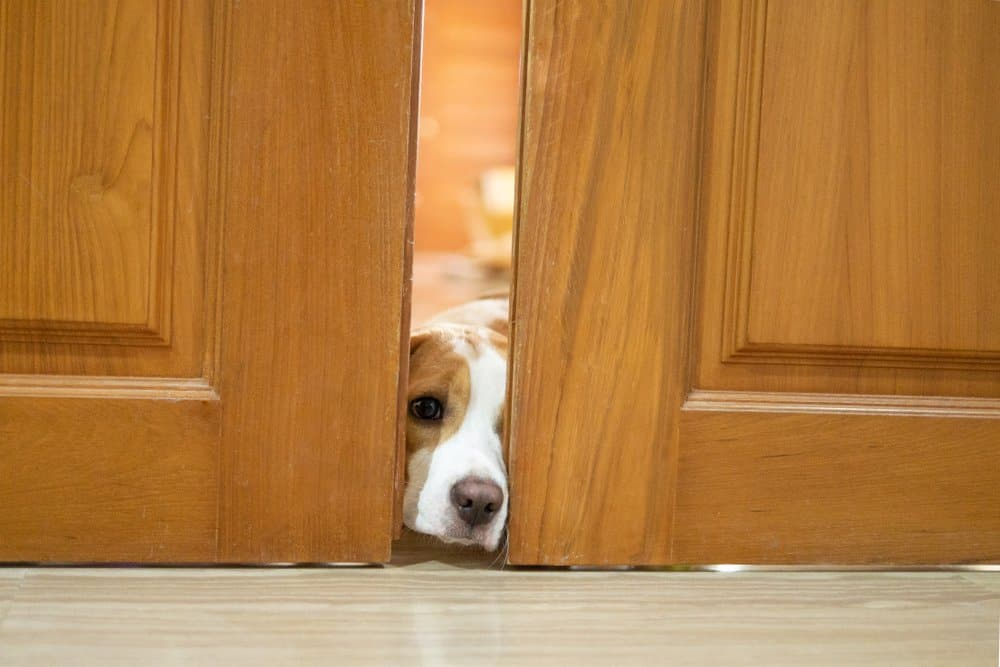 Los Repelentes Naturales Ayudan a Mantener a los Perros Fuera de los Muebles