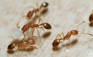 ¿Cómo Deshacerse de las Hormigas Faraón (y Mordeduras)?