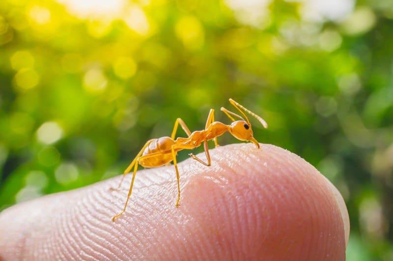 Tratamientos de Mordeduras de Hormiga de Fuego (Rápido): 5 Remedios Naturales y 2 Tratamientos Convencionales