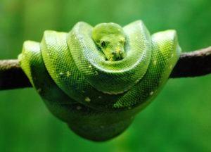 Árbol verde Python serpiente rodar sí mismo en el árbol