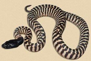 La serpiente Python de cabeza negra local