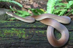 Serpiente de pitón de oliva rodando en el árbol