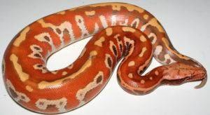 Serpiente Python de sangre roja