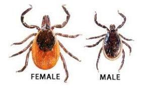 Garrapatas hembra y macho