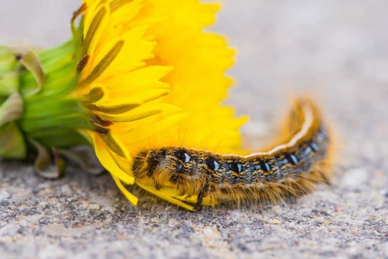 polilla gypasy en el suelo con flor