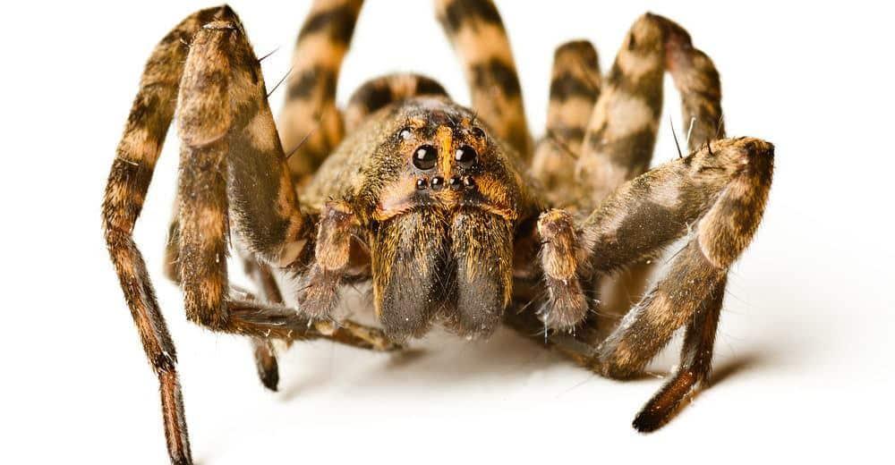 Lobo Araña Datos – Identificación y Control de Estos Arácnidos