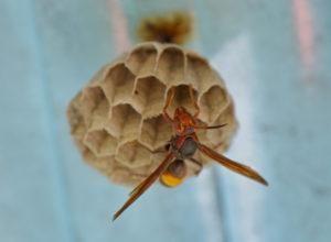 Primer plano de la avispa en su nido.
