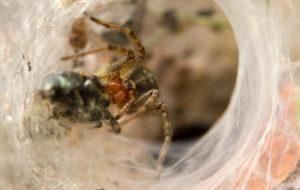 Primer plano de una araña Hobo capturando un escarabajo pequeño.