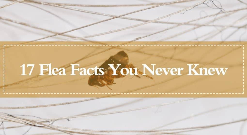 17 Hechos Imprevisibles de Pulgas que nunca Sabías